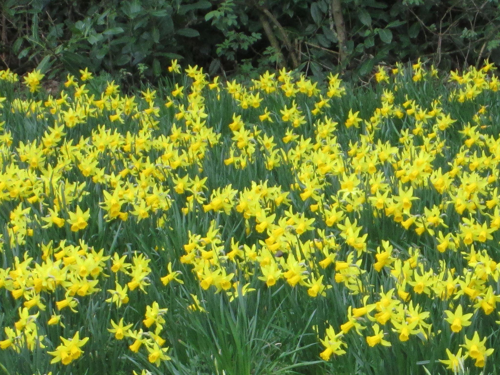 水仙(Daffodils)